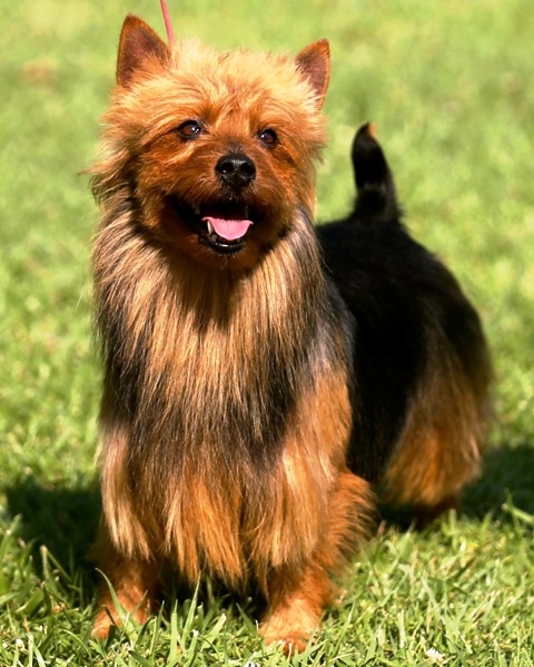 Jovi's Australian Terriers | Australian Terrier Puppies For